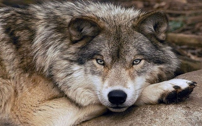 wolves-05