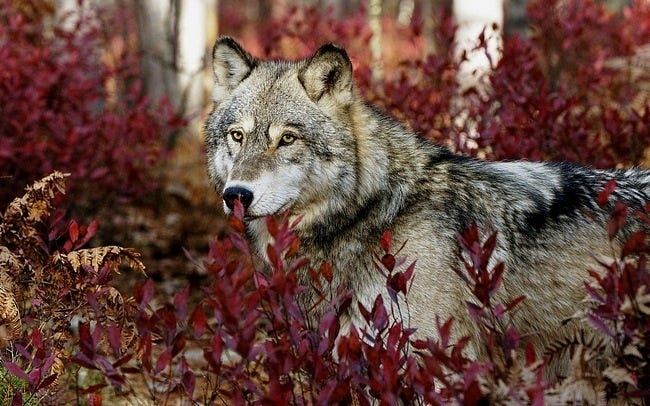 wolves-08