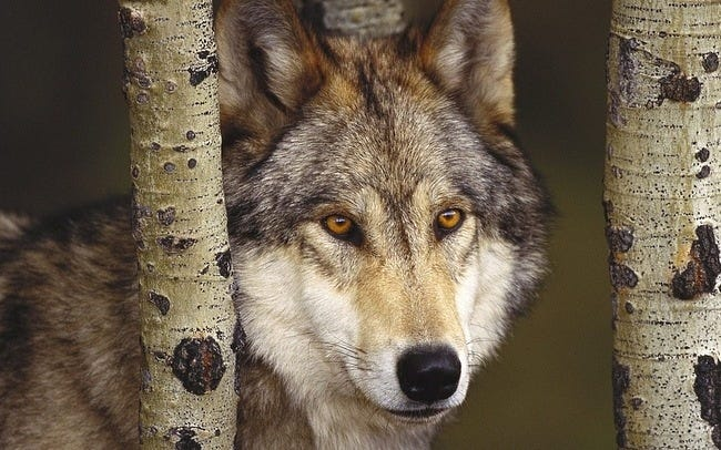 wolves-06