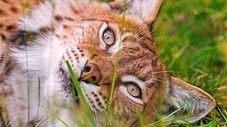 big-game-cats-wallpaper-collection-series-two-13
