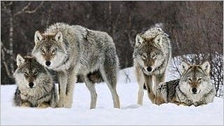 wolves-wallpaper-collection-series-two-03
