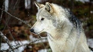 wolves-wallpaper-collection-series-two-05