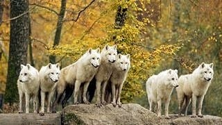 wolves-wallpaper-collection-series-two-08
