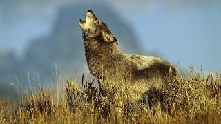 wolves-wallpaper-collection-series-two-10