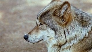 wolves-wallpaper-collection-series-two-13