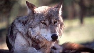 wolves-wallpaper-collection-series-two-14