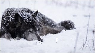 wolves-wallpaper-collection-series-two-01
