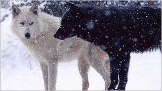 wolves-wallpaper-collection-series-two-02