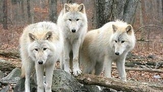 wolves-wallpaper-collection-series-two-06