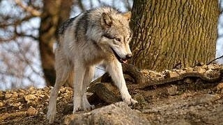 wolves-wallpaper-collection-series-two-07