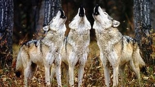 wolves-wallpaper-collection-series-two-09