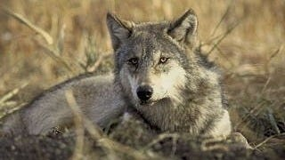 wolves-wallpaper-collection-series-two-15