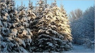 snow-covered-trees-wallpaper-collection-series-two-12