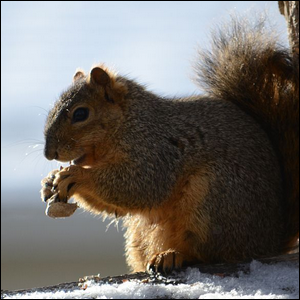 Eastern gray squirrel eating a nut in the winter
