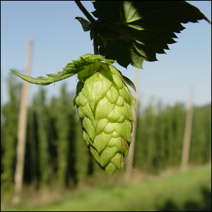 Hops awaiting harvesting