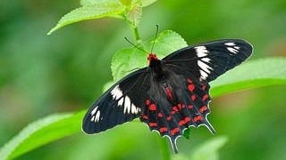 colorful-butterflies-wallpaper-collection-series-two-16