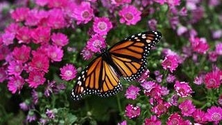 colorful-butterflies-wallpaper-collection-series-two-08