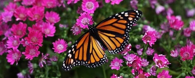 colorful-butterflies-wallpaper-collection-series-two-00