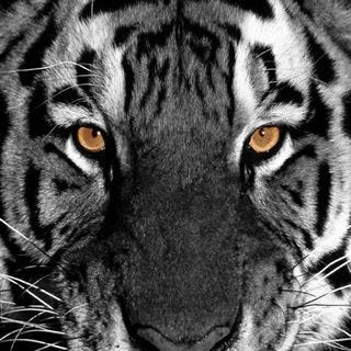 tigers-wallpaper-collection-for-ipad-series-one-02