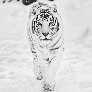 tigers-wallpaper-collection-for-ipad-series-one-05