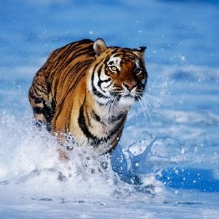 tigers-wallpaper-collection-for-ipad-series-one-07
