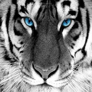 tigers-wallpaper-collection-for-ipad-series-one-01