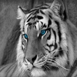 tigers-wallpaper-collection-for-ipad-series-one-03