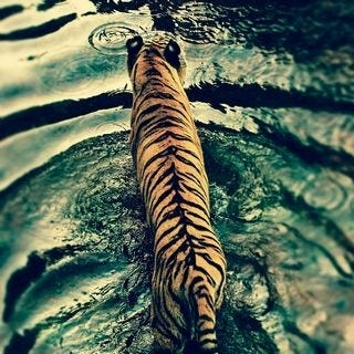 tigers-wallpaper-collection-for-ipad-series-one-12