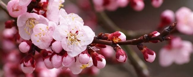 spring-blossoms-wallpaper-collection-bonus-size-00