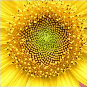 A closeup image of a sunflower head