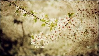 spring-blossoms-wallpaper-collection-bonus-size-03