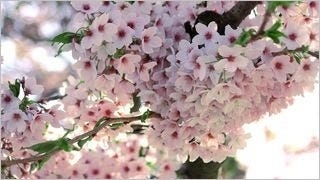 spring-blossoms-wallpaper-collection-bonus-size-05