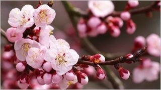 spring-blossoms-wallpaper-collection-bonus-size-08