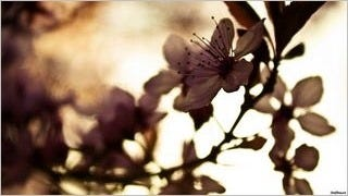 spring-blossoms-wallpaper-collection-bonus-size-12