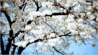 spring-blossoms-wallpaper-collection-bonus-size-13