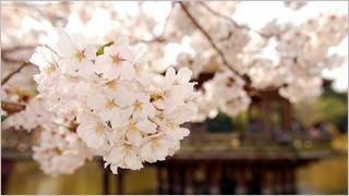 spring-blossoms-wallpaper-collection-bonus-size-14