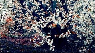 spring-blossoms-wallpaper-collection-bonus-size-15