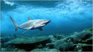 sharks-of-the-deep-wallpaper-collection-series-one-07