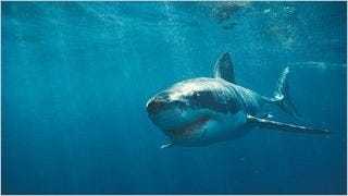 sharks-of-the-deep-wallpaper-collection-series-one-09