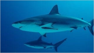 sharks-of-the-deep-wallpaper-collection-series-one-11