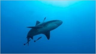 sharks-of-the-deep-wallpaper-collection-series-one-13
