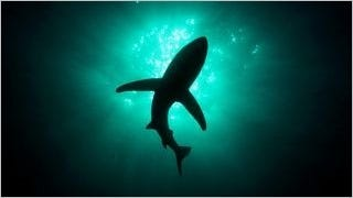 sharks-of-the-deep-wallpaper-collection-series-one-04