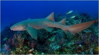 sharks-of-the-deep-wallpaper-collection-series-one-06