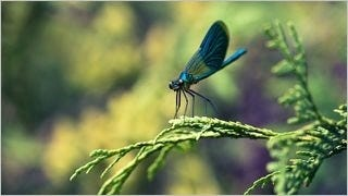 dragonflies-wallpaper-collection-series-one-05