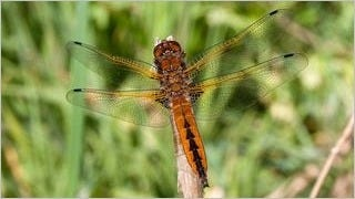 dragonflies-wallpaper-collection-series-one-07
