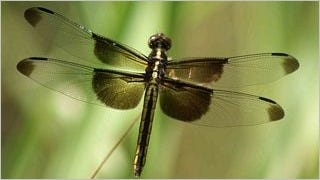 dragonflies-wallpaper-collection-series-one-08