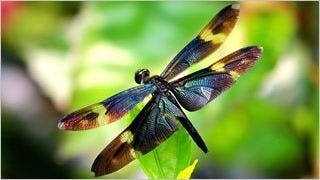 dragonflies-wallpaper-collection-series-one-09