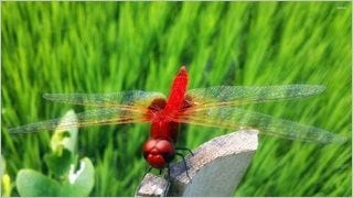 dragonflies-wallpaper-collection-series-one-10
