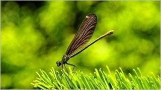 dragonflies-wallpaper-collection-series-one-11