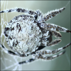Darwin's bark spider, seen up close and on its web